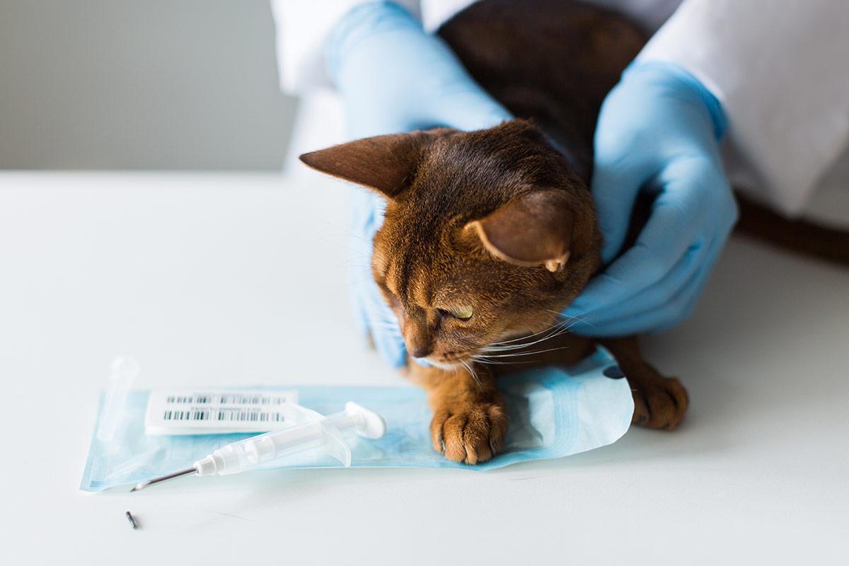 Photo d'une seringue et d'un chat prêt à l'implantation d'une puce